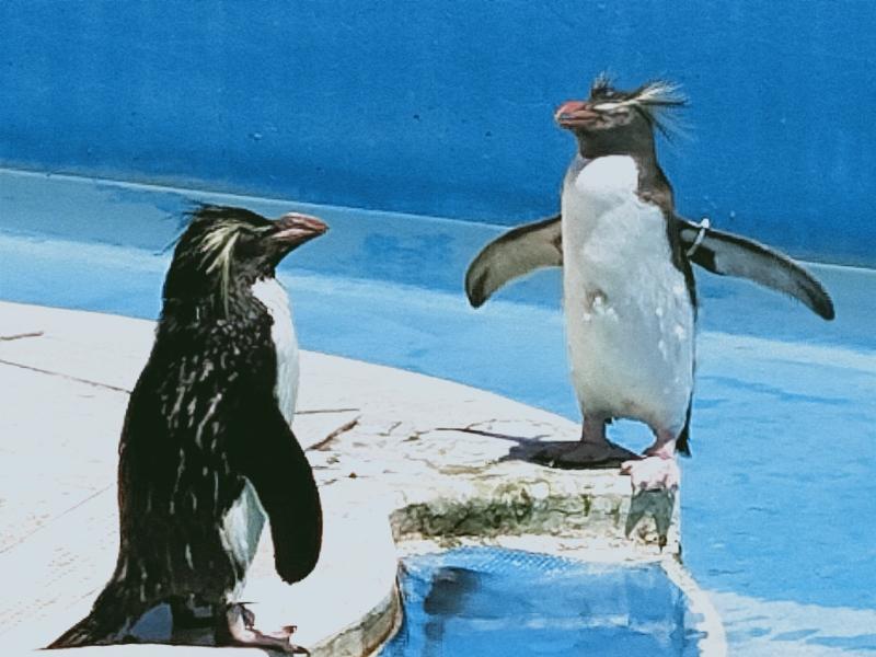 京急油壺マリンパーク イワトビペンギン